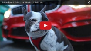 2015-03-23 15_12_26-French bulldog drives BMW M4 _ TopCar